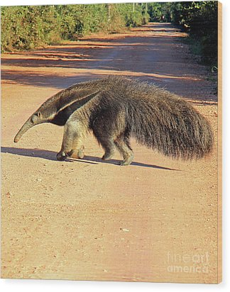 Giant Anteater Crosses The Transpantaneira Highway In Brazil Wood Print by Nareeta Martin