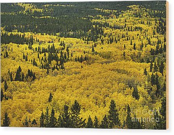 Giant Aspen Glen 2 Wood Print by Pete Hellmann