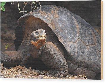 Giant Galapagos Tortoise Wood Print