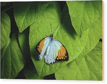 Wood Print featuring the photograph Giant Orange Tip Butterfly by Tom Mc Nemar