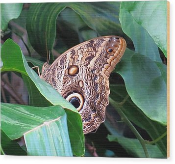 Giant Owl Butterfly Wood Print
