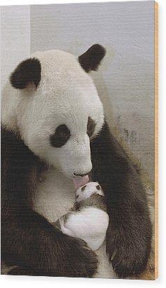 Giant Panda Ailuropoda Melanoleuca Xi Wood Print by Katherine Feng