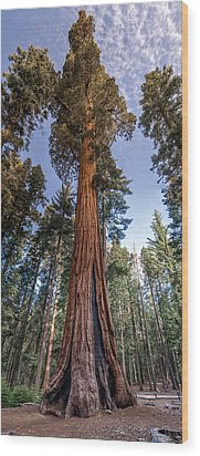 Giant Sequoia Wood Print by Phil Abrams