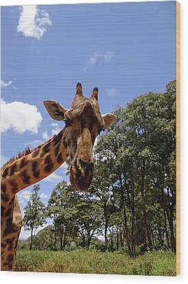 Giraffe Getting Personal 4 Wood Print