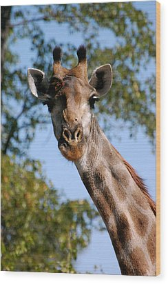 Giraffe  Wood Print by Tess Haun