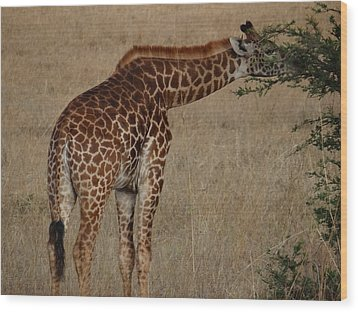 Giraffes Eating - Side View Wood Print