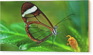 Wood Print featuring the photograph Glasswinged Butterfly by Ralph A Ledergerber