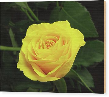 Glorious Yellow Rose Wood Print