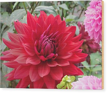 Glory Crimson Dahlia  Wood Print