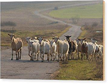 Goats Walking Home Wood Print