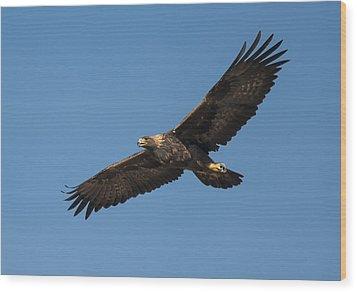 Golden Eagle In Flight Wood Print