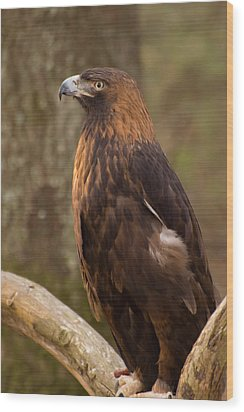 Golden Eagle Resting On A Branch Wood Print by Chris Flees