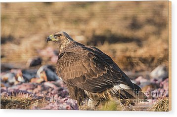 Golden Eagle's Back Wood Print by Torbjorn Swenelius