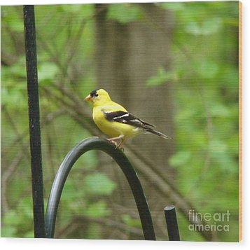Golden Finch Wood Print by Rand Herron