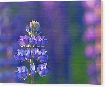 Golden Hour Lupine Wood Print