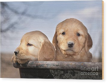Golden Puppies Wood Print by Cindy Singleton
