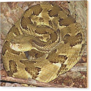 Golden Viper Wood Print by Joshua Bales