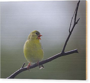 Wood Print featuring the photograph Goldfinch Song by Susan Capuano