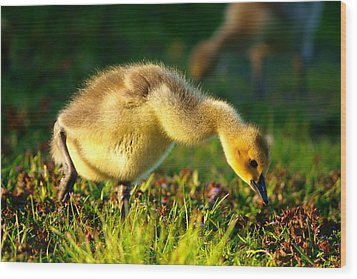 Gosling In Spring Wood Print by Paul Ge