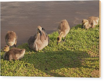 Wood Print featuring the photograph Goslings Basking In The Sunset by Chris Flees