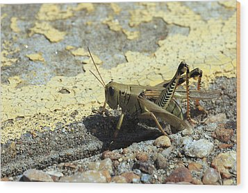 Grasshopper Laying Eggs Wood Print