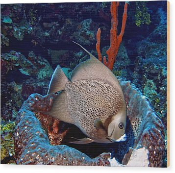 Wood Print featuring the photograph Gray Angel Fish And Sponge by Amy McDaniel