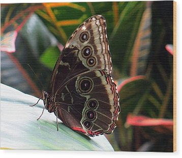 Gray Cracker Butterfly Wood Print
