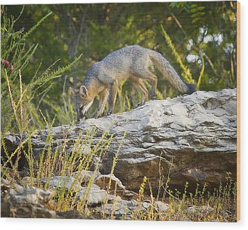Gray Fox Hunting The Bluff Wood Print by Michael Dougherty