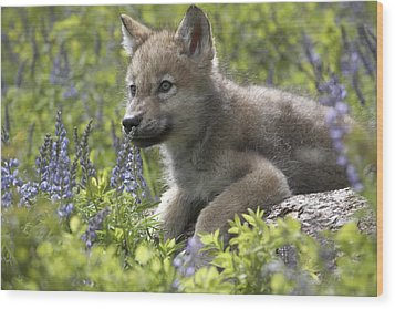Gray Wolf Canis Lupus Pup Amid Lupine Wood Print by Tim Fitzharris