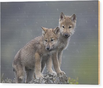 Gray Wolf Canis Lupus Pups In Light Wood Print by Tim Fitzharris