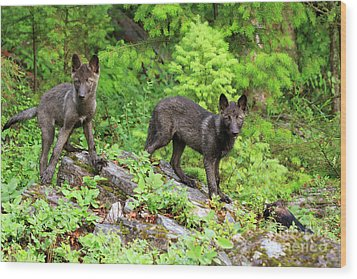 Gray Wolf Pups Wood Print by Louise Heusinkveld