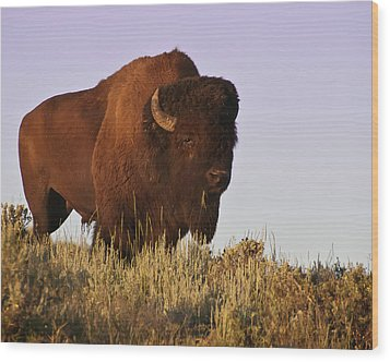 Great American Bison Wood Print