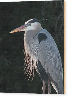 Wood Print featuring the photograph Great Blue At Rest by Peg Urban