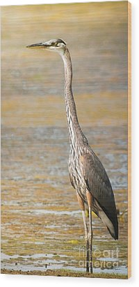 Great Blue At The Flats Wood Print by Robert Frederick