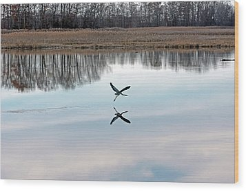 Great Blue Heron At Take-off Wood Print