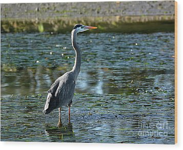 Great Blue Heron Catching The Light Wood Print