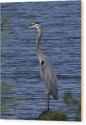 Great Blue Heron Dmsb0001 Wood Print
