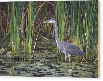 Great Blue Heron Wood Print by Natural Selection David Spier