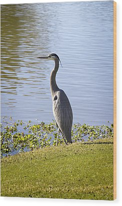 Wood Print featuring the photograph Great Blue Heron by Phyllis Denton