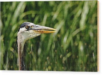 Great Blue Heron Portrait Wood Print by Debbie Oppermann