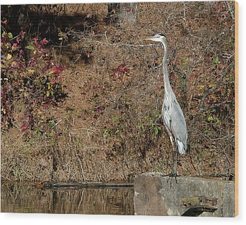 Great Blue Heron Standing Tall Wood Print by George Randy Bass
