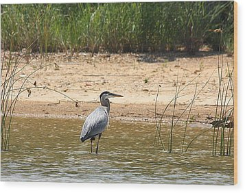 Wood Print featuring the photograph Great Blue Heron Wading by Sheila Brown