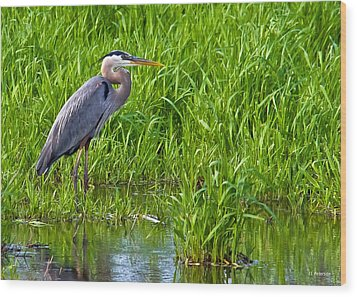 Great Blue Heron Waiting Wood Print by Edward Peterson