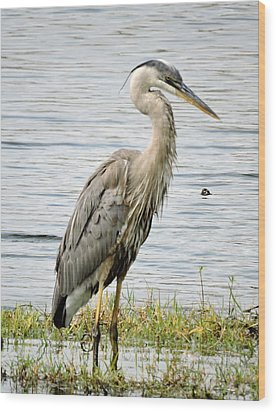 Wood Print featuring the photograph Great Blue Heron by William Albanese Sr
