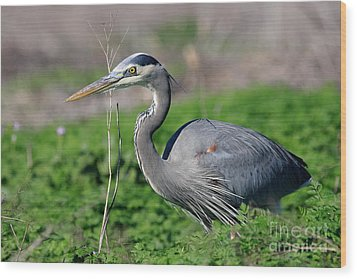 Great Blue Heron Wood Print by Wingsdomain Art and Photography