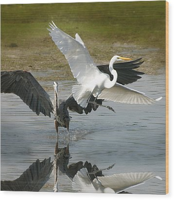 Great Blue Vs. Great White Egret Wood Print by Joseph G Holland