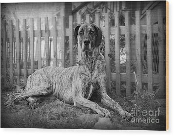 Wood Print featuring the photograph Great Dane Rufus by Lila Fisher-Wenzel