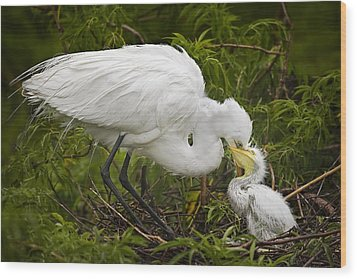 Great Egret And Chick Wood Print by Susan Candelario
