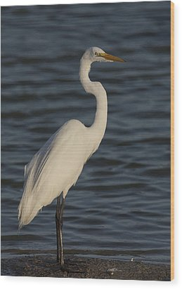 Great Egret In The Last Light Of The Day Wood Print