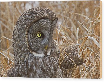 Great Gray On The Hunt I Wood Print by Butch Lombardi